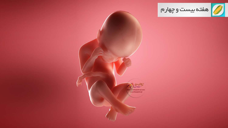 وضعیت جنین در هفته بیست و چهارم بارداری هفته به هفته